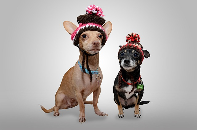 Chihuahuas wearing hats