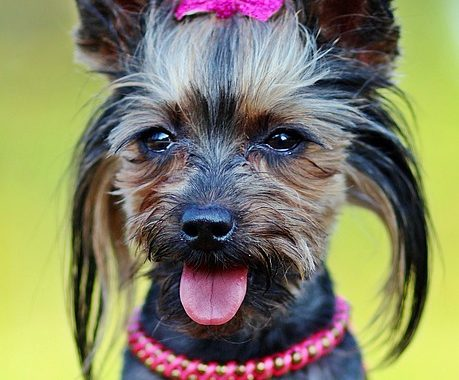 Yorki dog wearing a bow and necklace